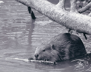 LEADERSHIP FAILS - AVOID THESE 8 MISTAKES - inWealthandHealth - Beaver